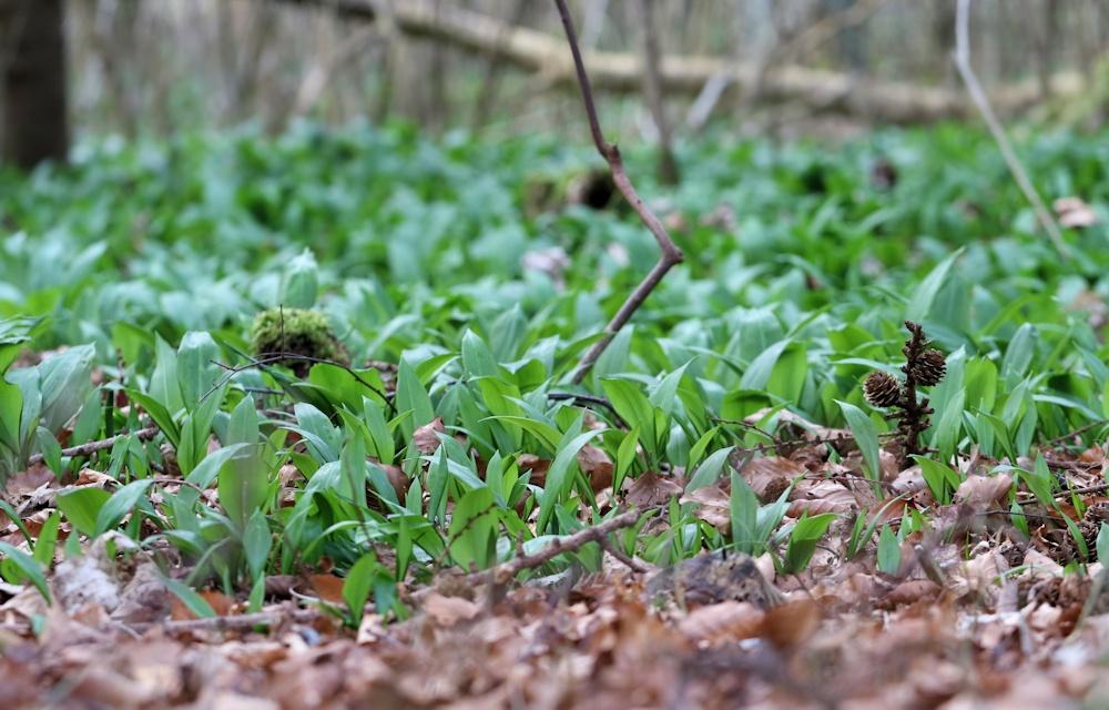 Skovbunden dækket af ramsløg.