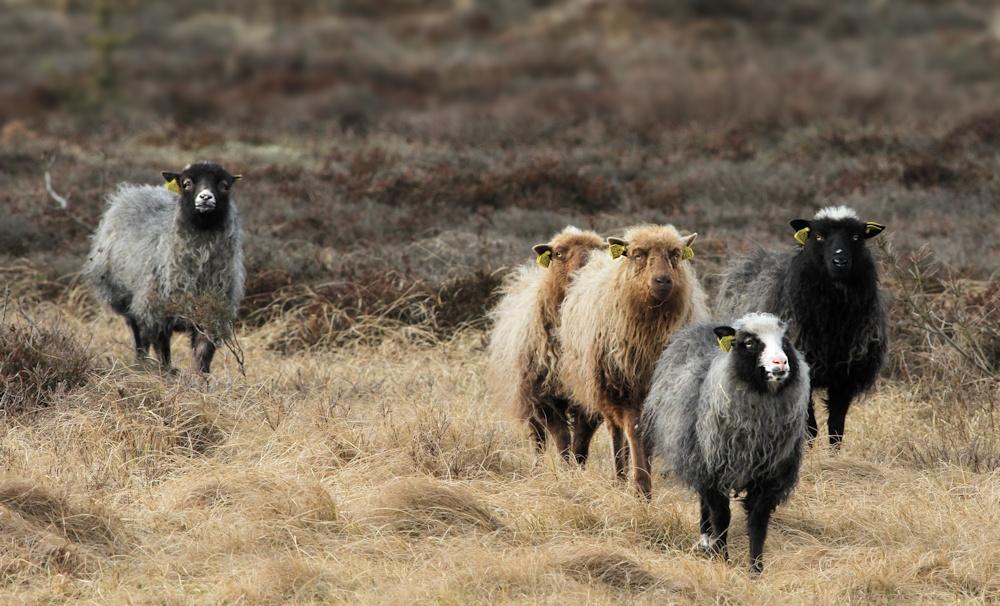 Spelsau-får ved Vorupør.