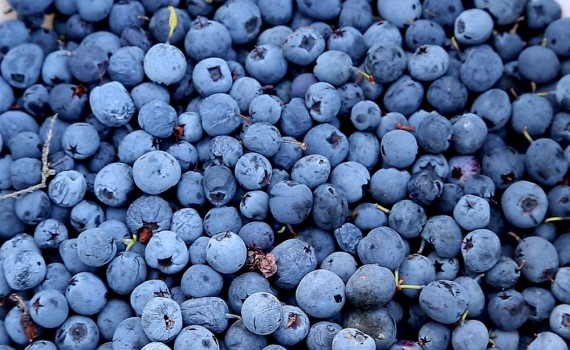 Mosebøllebær, i Thy kendt som blåbær.Foto: Klaus Madsen/Museum Thy.