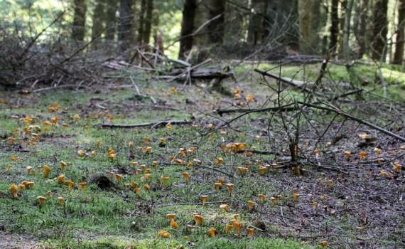 I Thys klitplantager vokser den fine spisesvamp kantarel nogle steder talrigt. Foto: Jørgen Peter Kjeldsen/ornit.dk.